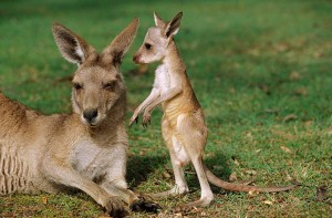 Eastern Gray Kangaroos 4