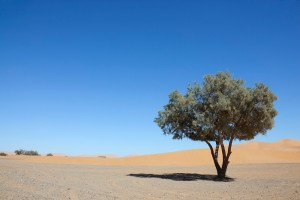 Tamarisk tree (Tamarix articulata) in the Sahara desert.