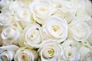 depositphotos_2074285-stock-photo-white-rose-background